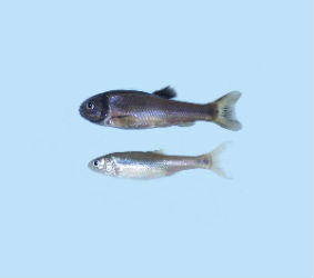 Fathead Minnow (Pimephales promelas) Male (top) & Female (bottom) cultured at Hydrosphere. Larvae used for freshwater acute and chronic toxicity tests.